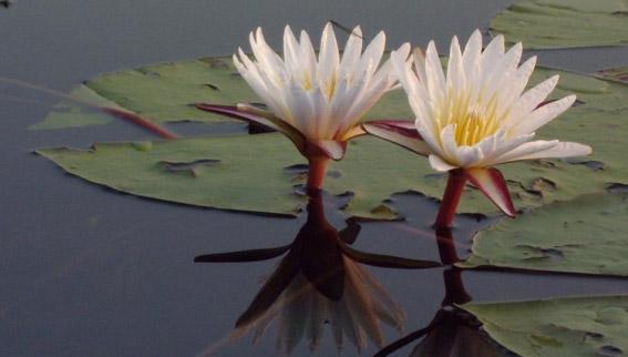 image fleur de lotus